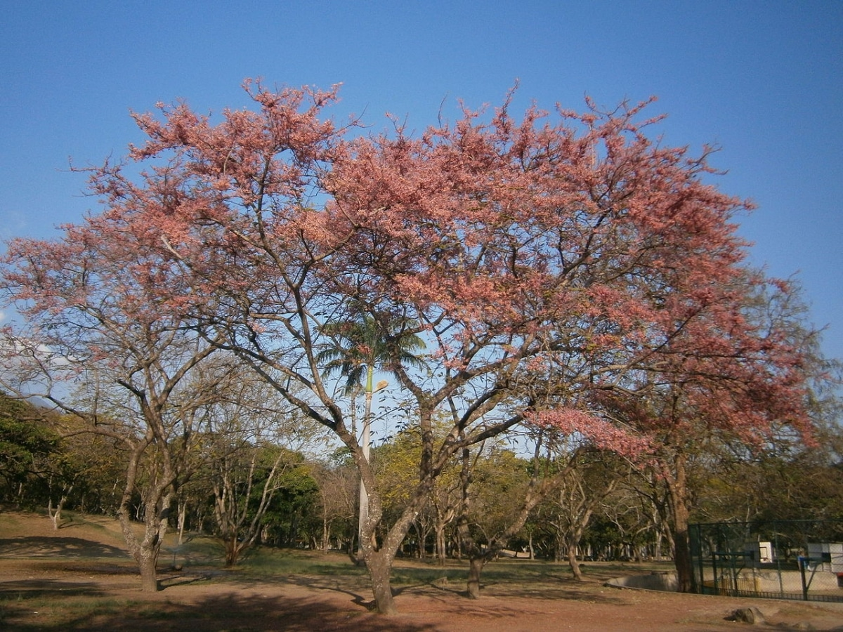 La Cassia grandis es un tipo de árbol de gran tamaño