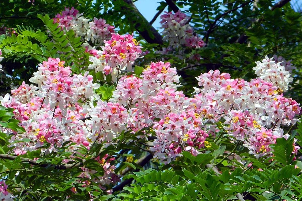 La Cassia javanica produce flores rosadas