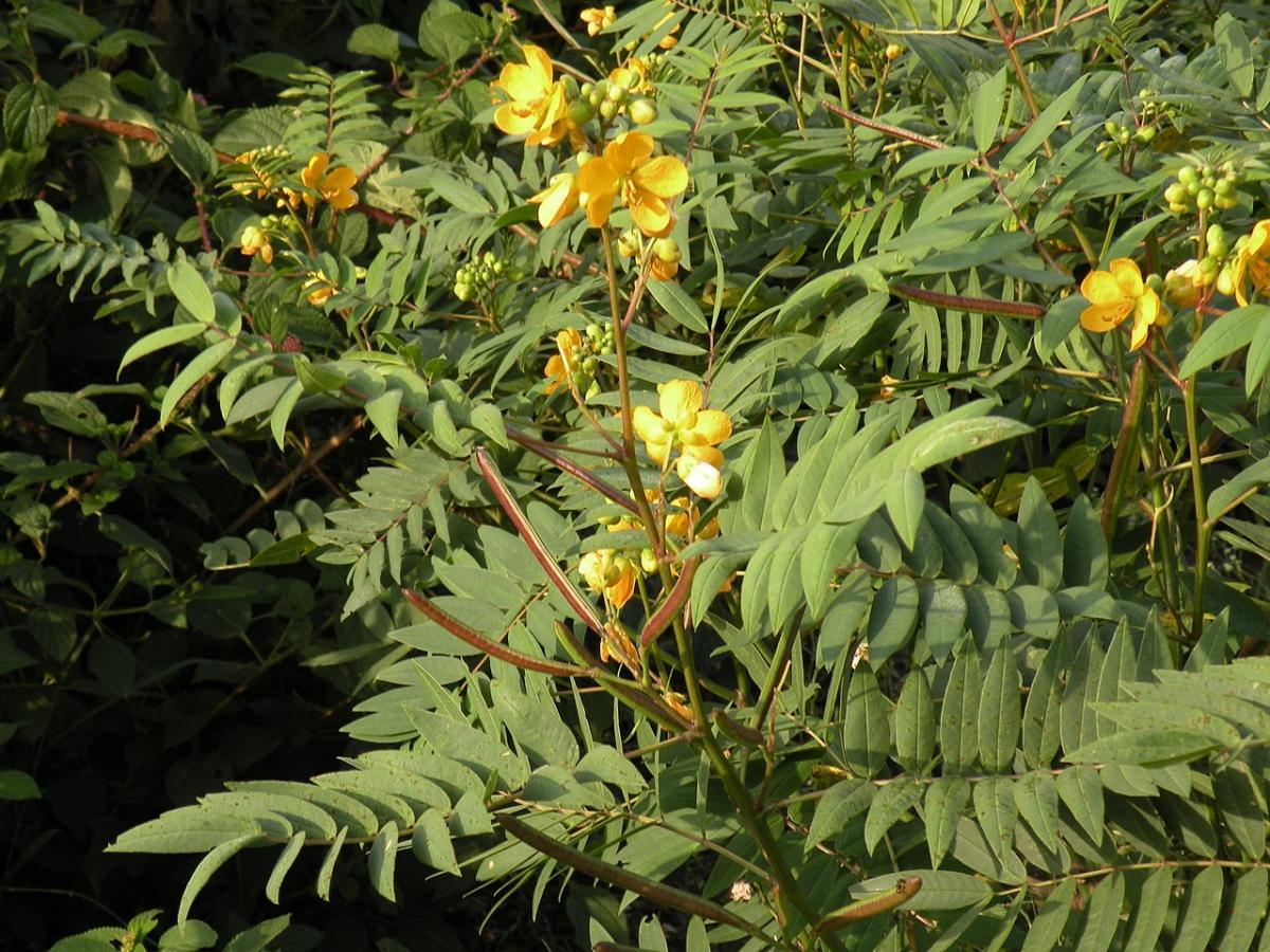Hay muchos tipos de Cassia con flores amarillas
