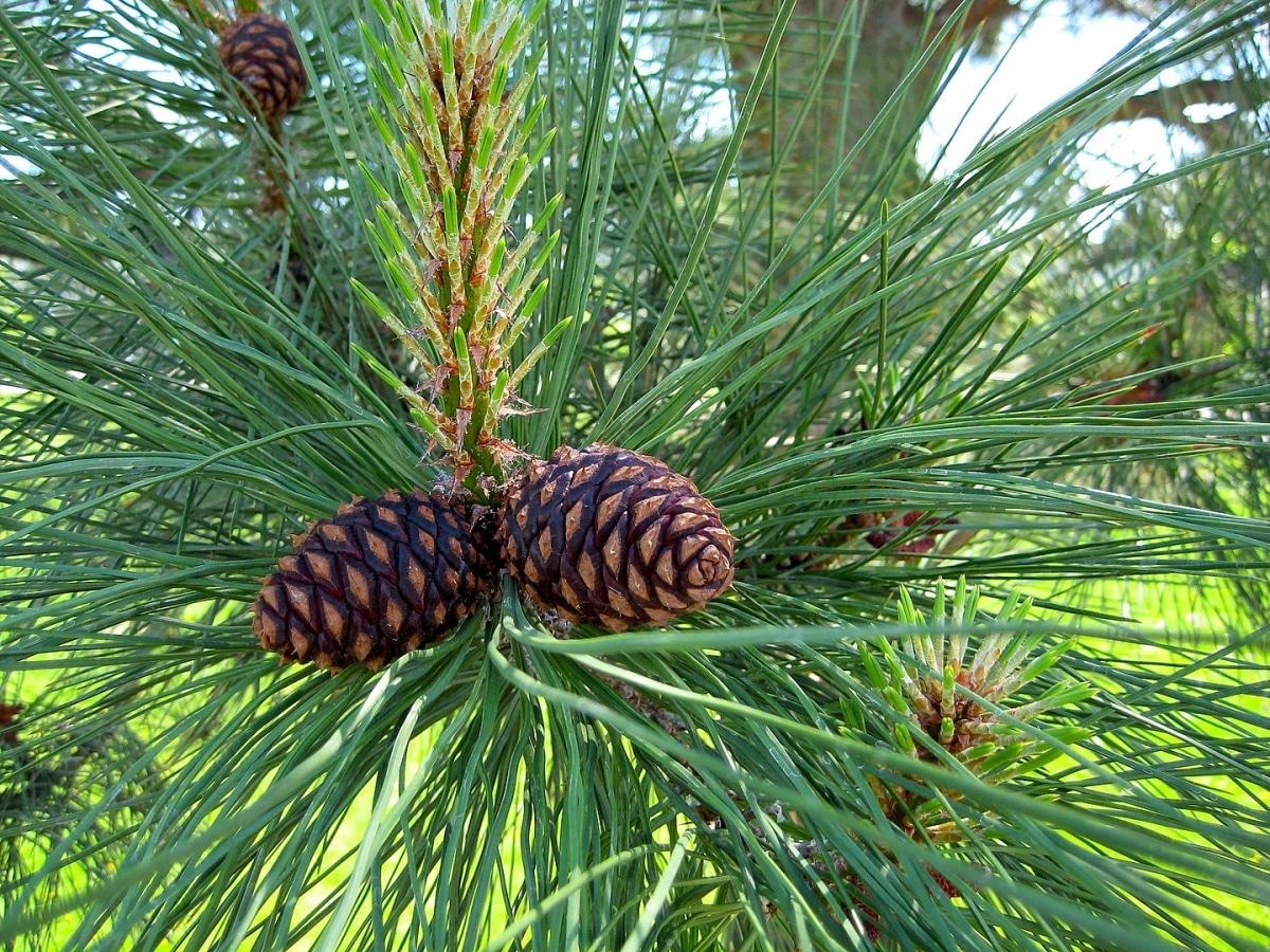 Los conos de Pinus ponderosa son pequeños