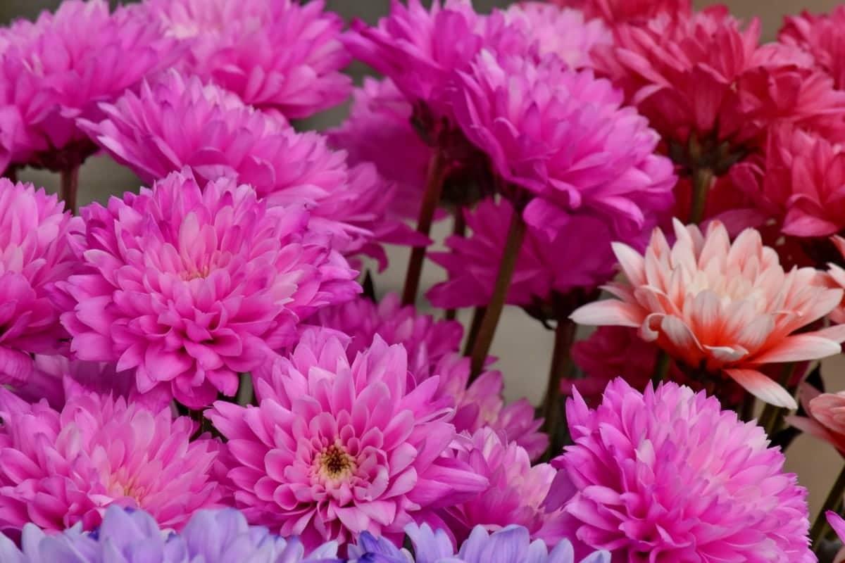 El crisantemo es una planta herbácea que florece tarde