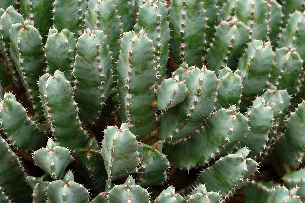 cuidados de cactus