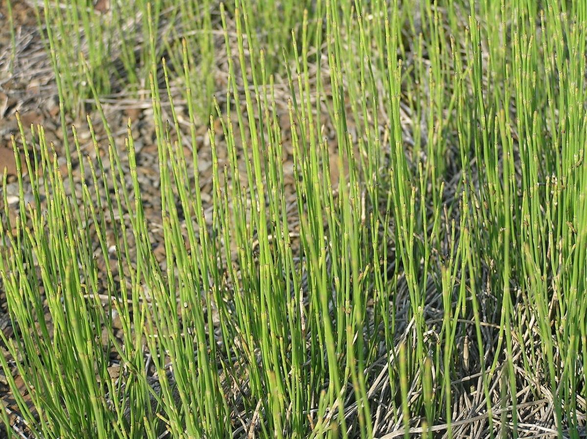 El Equisetum ramossissimum es una planta semiacuática