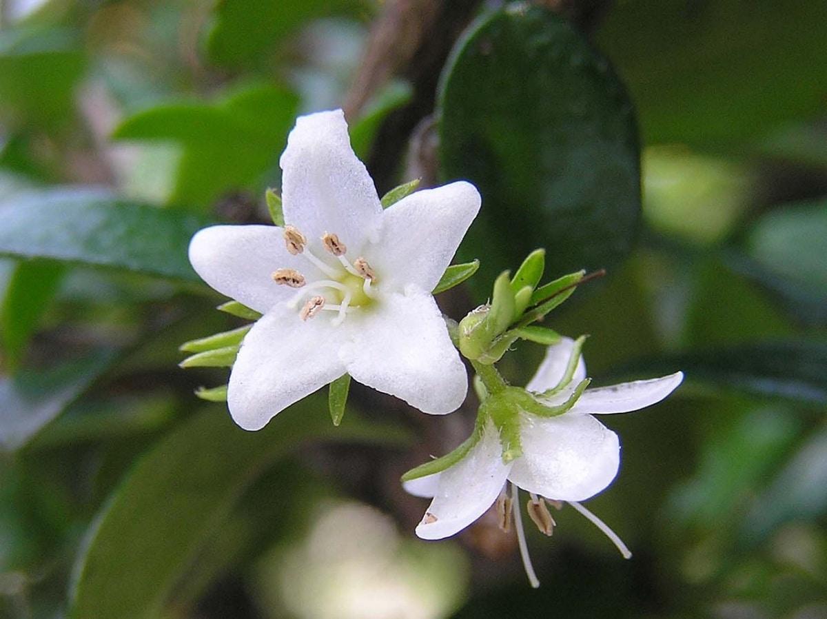 La Carmona microphylla tiene flores blancas