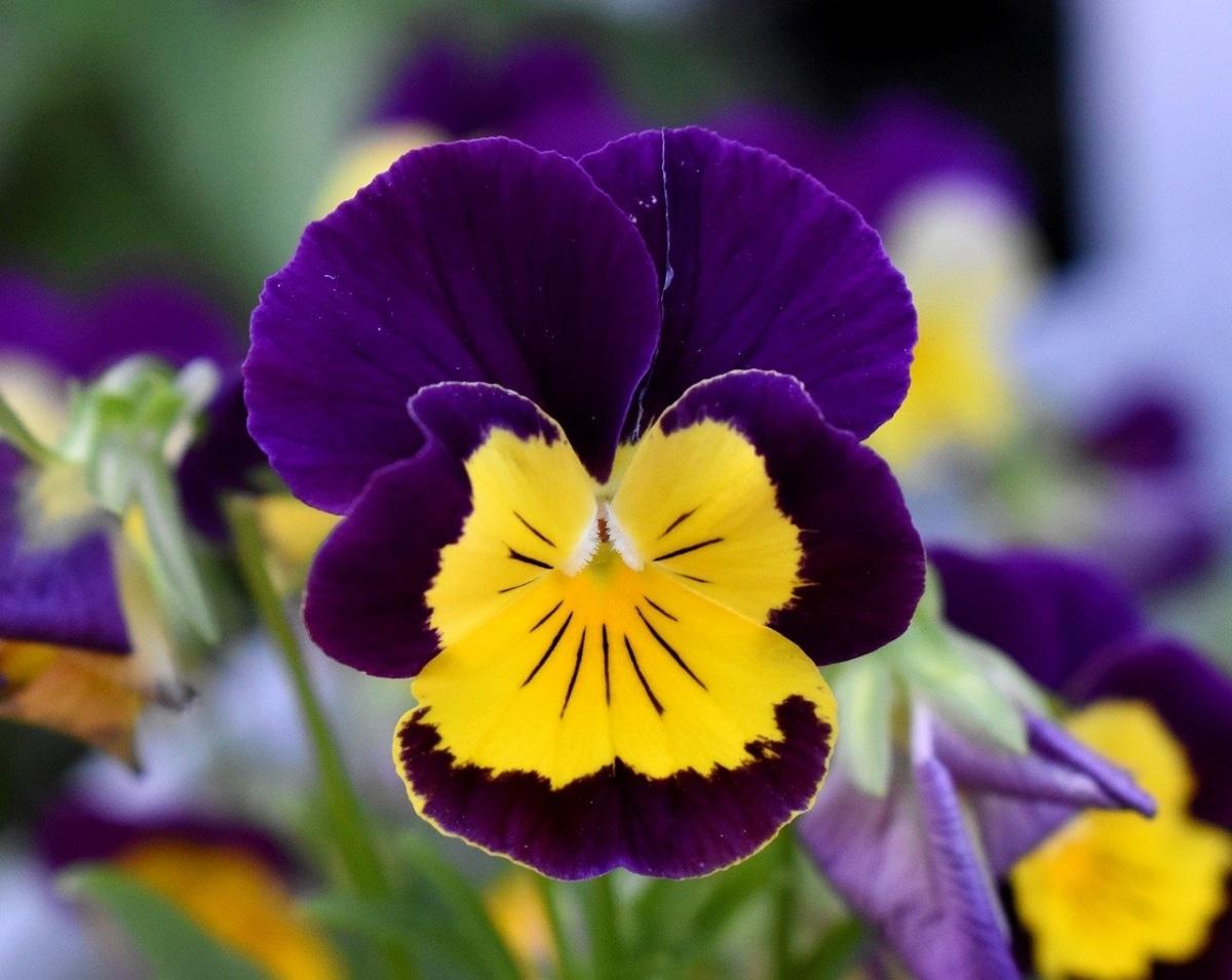 El pensamiento es una planta herbácea que florece en invierno