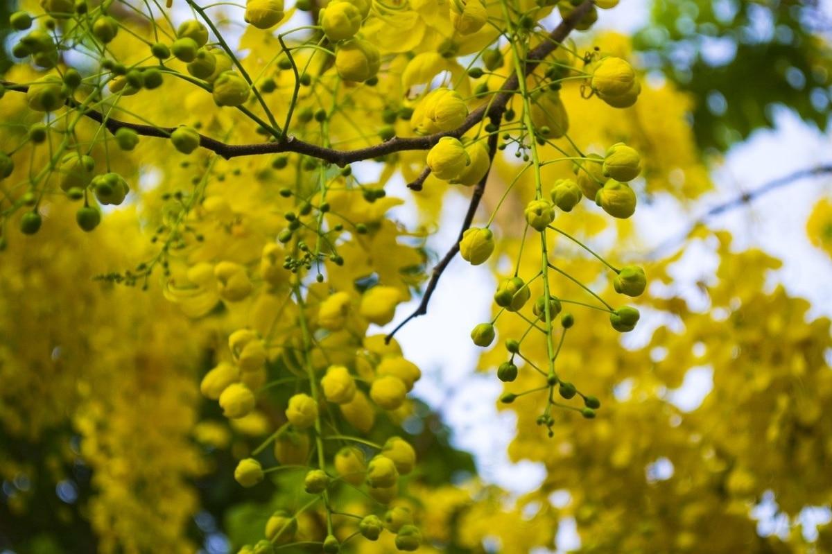 Las Cassia tienen las flores agrupadas en racimos