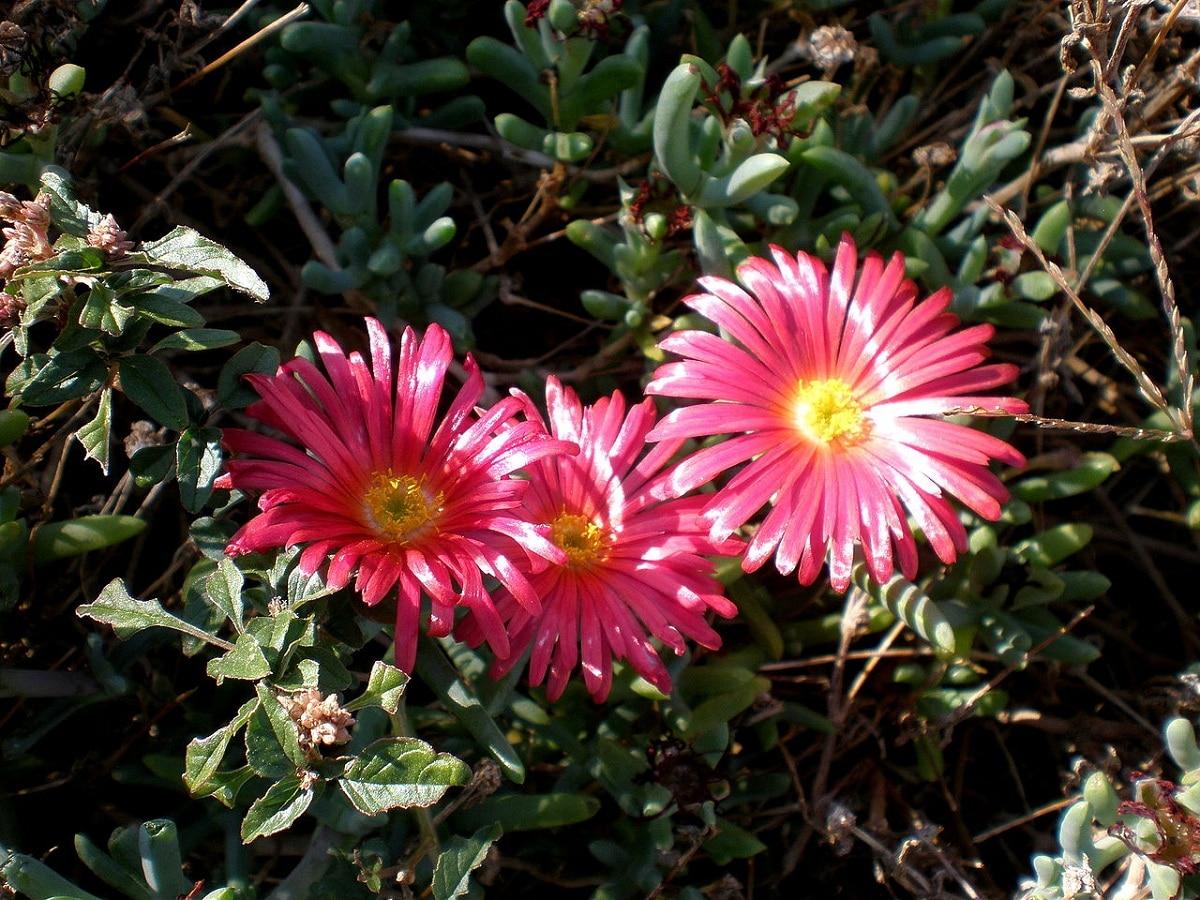flores rosas de la planta suculenta