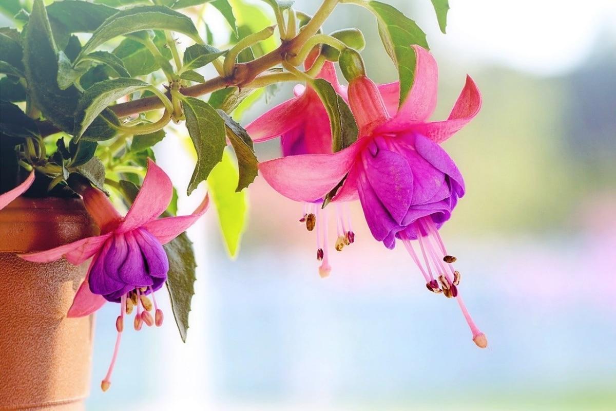 Las fuchsias florecen en invierno