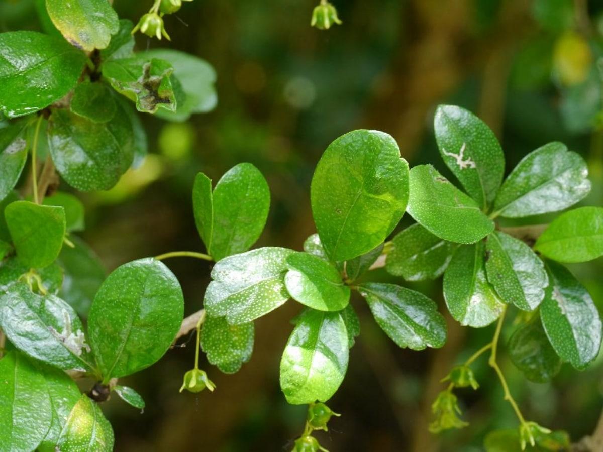 Las hojas de la Carmona microphylla son verdes