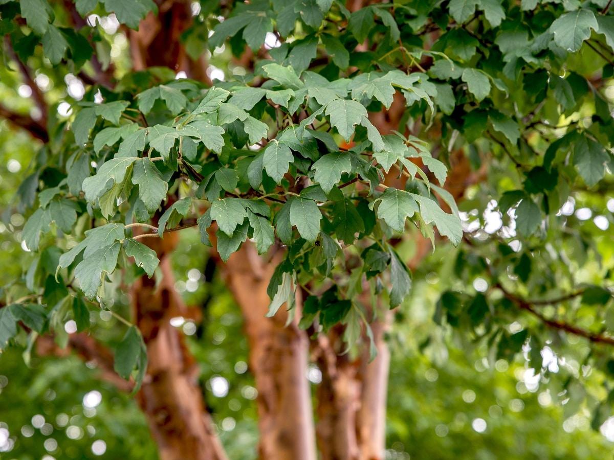 hojas del arce de papel