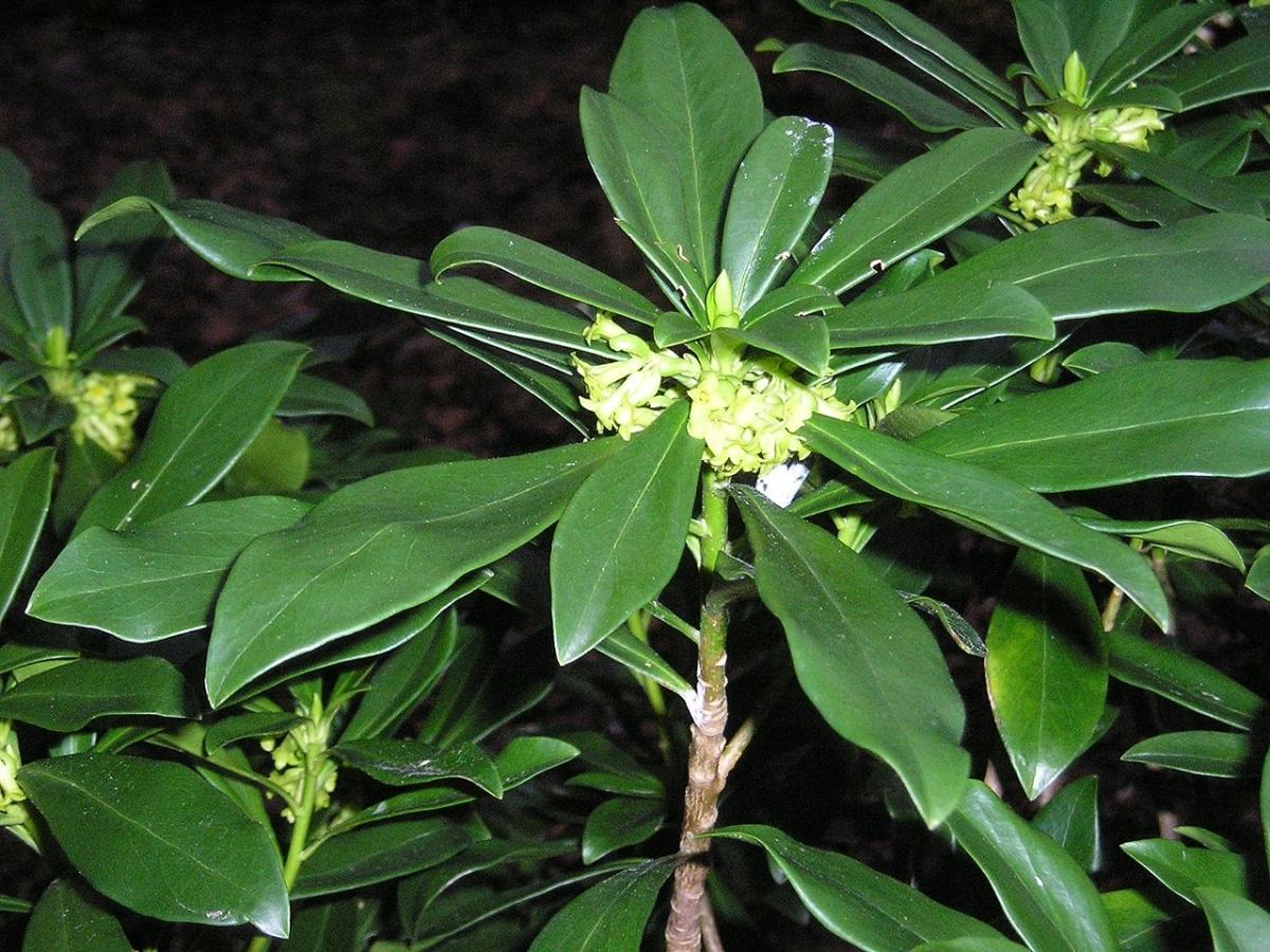 La Laureola tiene las hojas lanceoladas y verdes