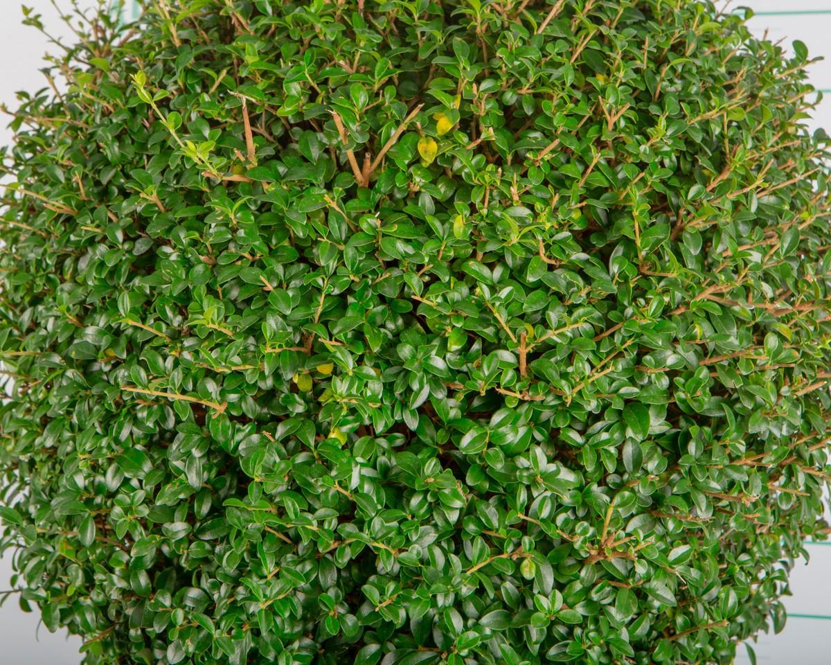 ligustrum jonandrum bonsai