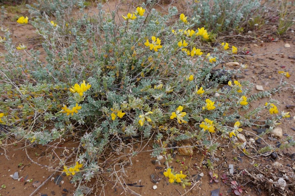 El Lotus creticus es una hierba perenne