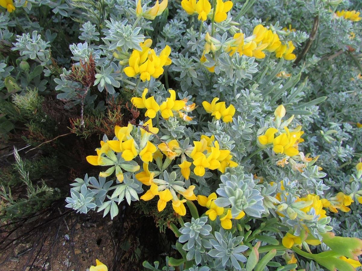 El Lotus creticus es un tipo de lotus