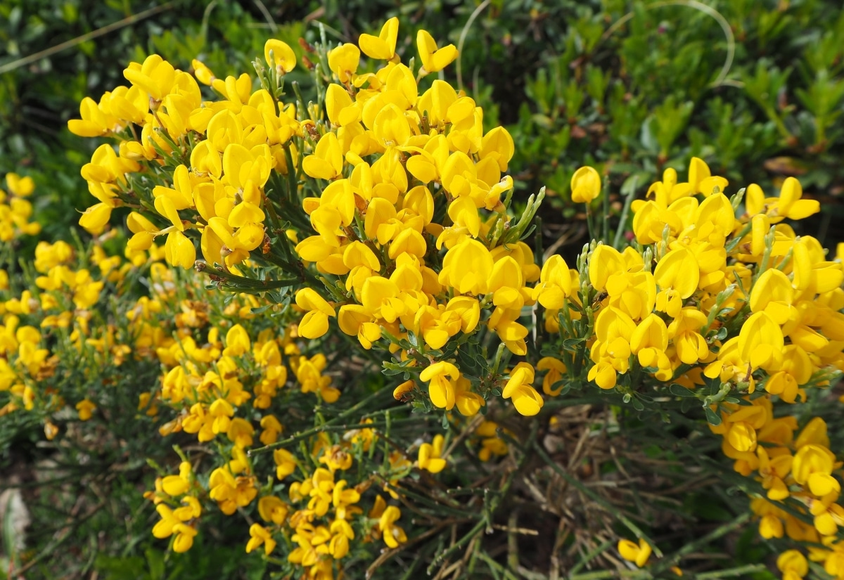 Hay muchos tipos de lotus, y todos son herbáceos
