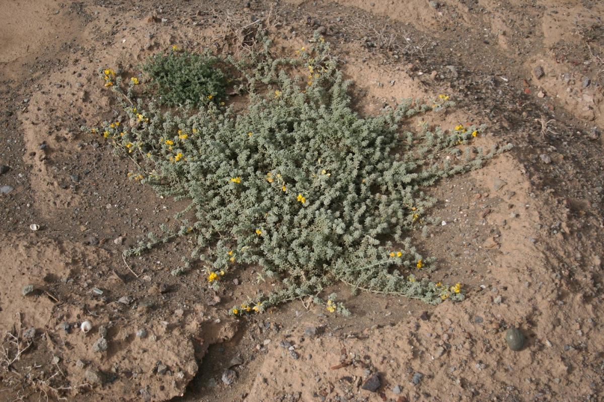 El Lotus kunkelii es un tipo de Lotus en peligro de extinción