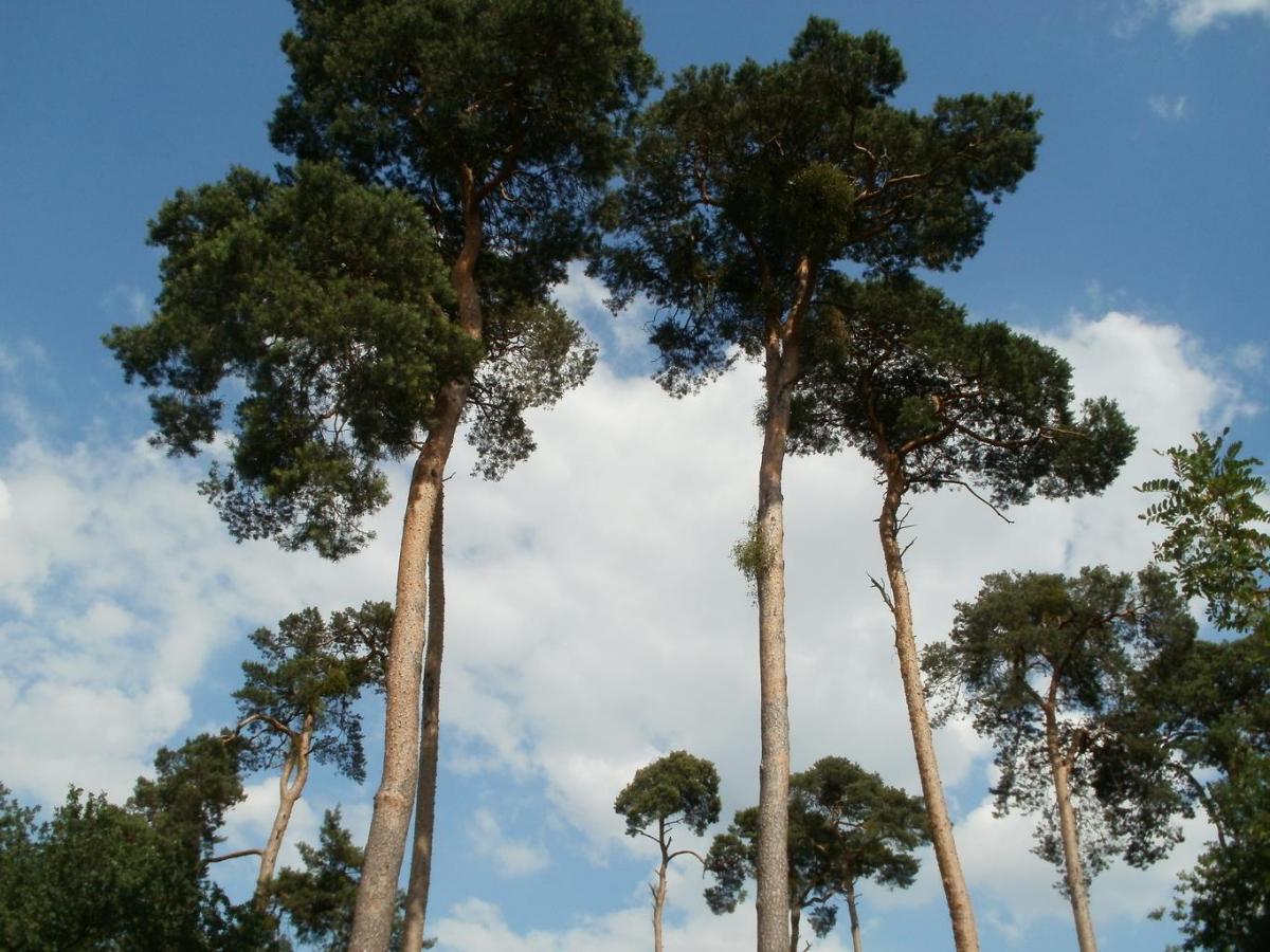 El pino silvestre es un tipo de pino europeo