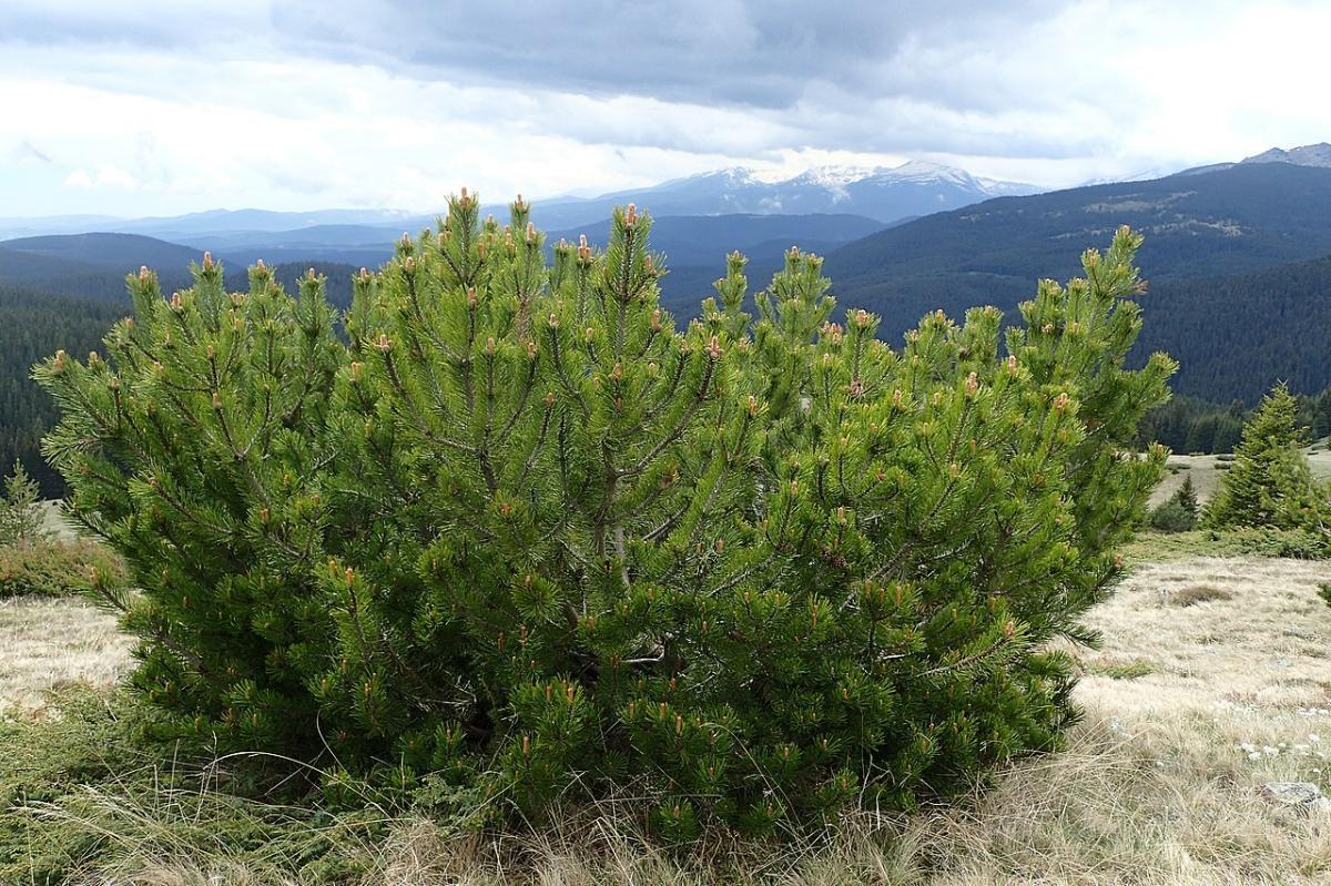 El Pinus mugo es un tipo de pino de montaña