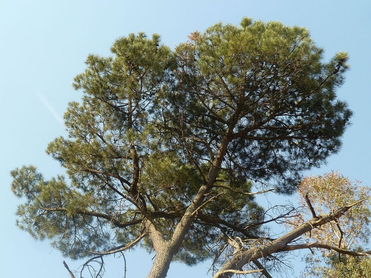 El Pinus pinaster es una variedad de pino