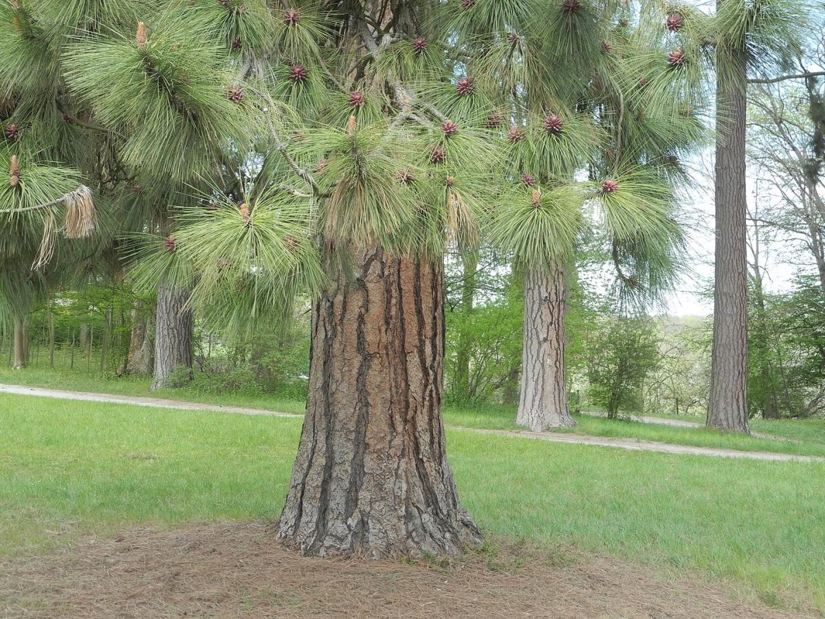 El tronco del Pinus ponderosa es grueso