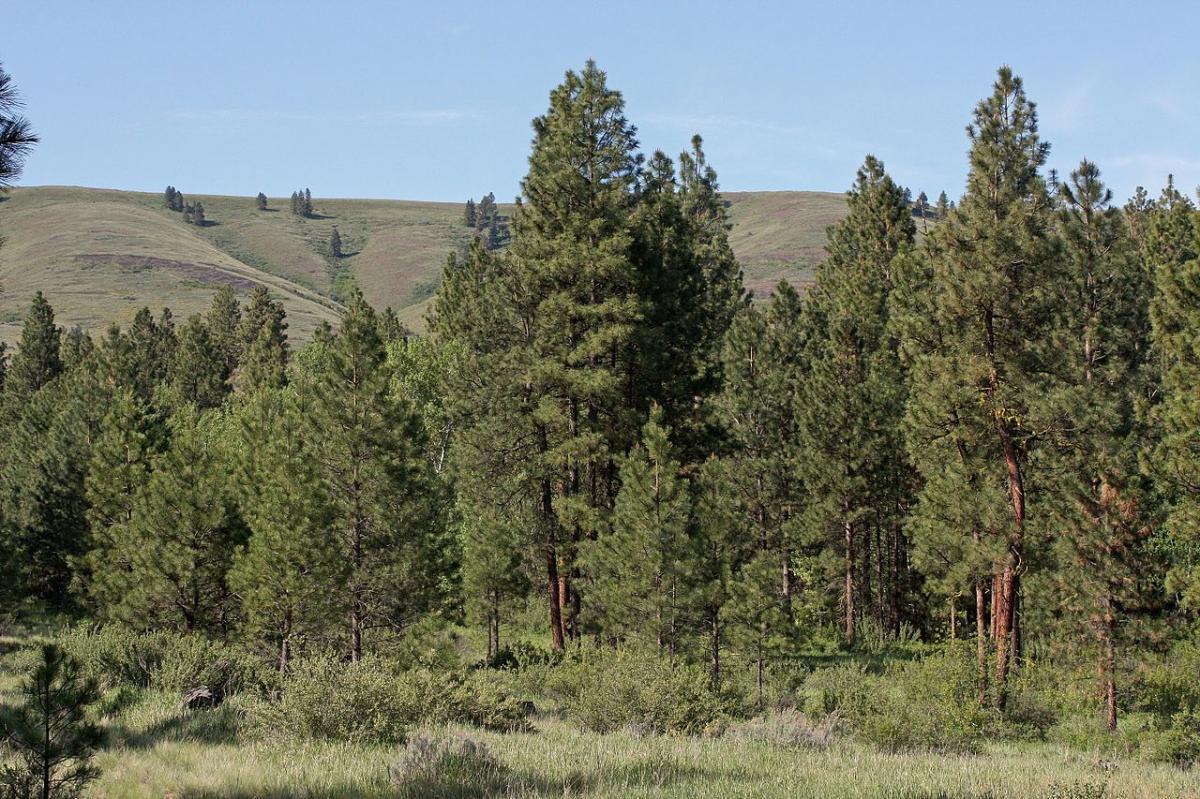El Pinus ponderosa es una especie montañosa