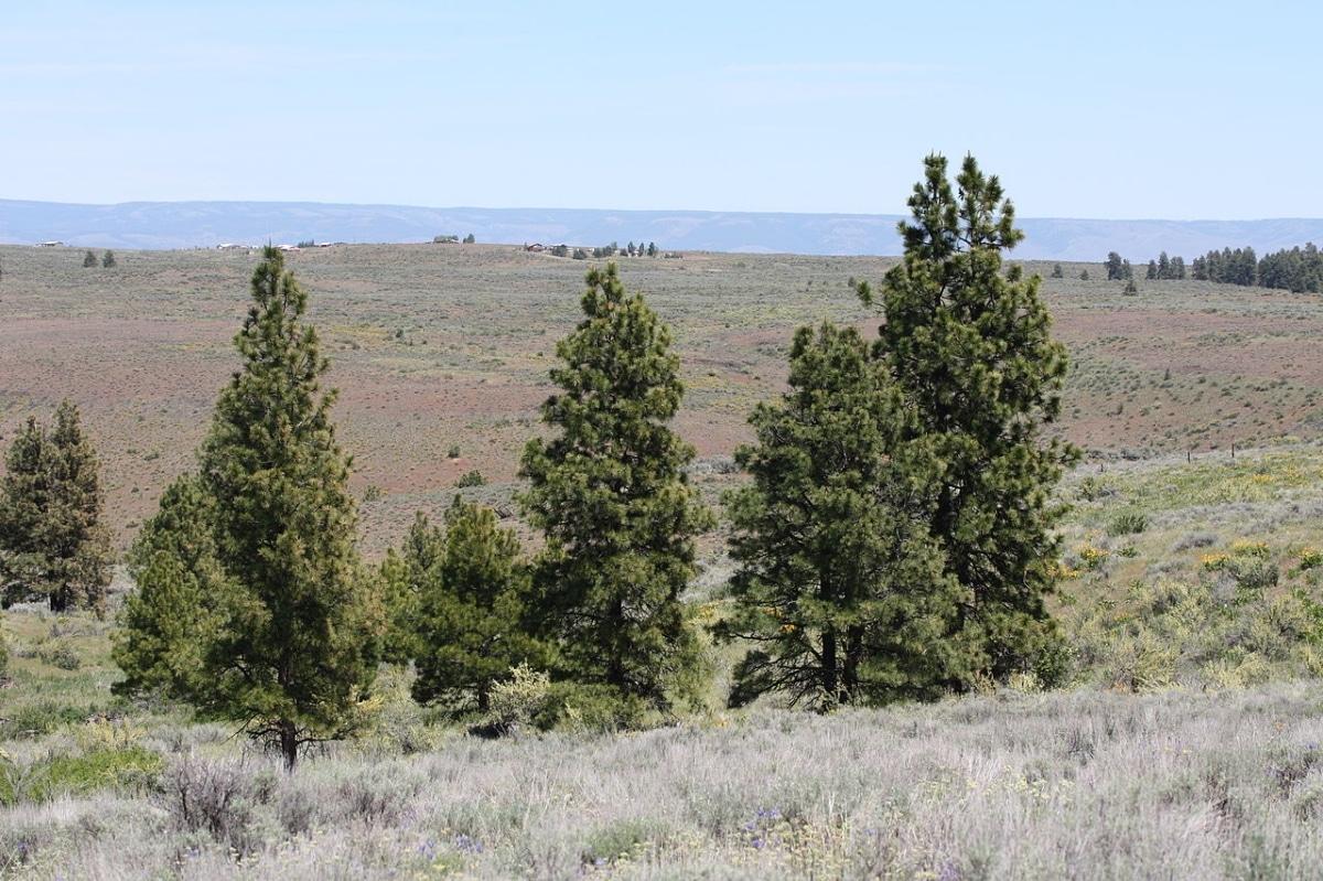 El Pinus ponderosa es una conífera perenne