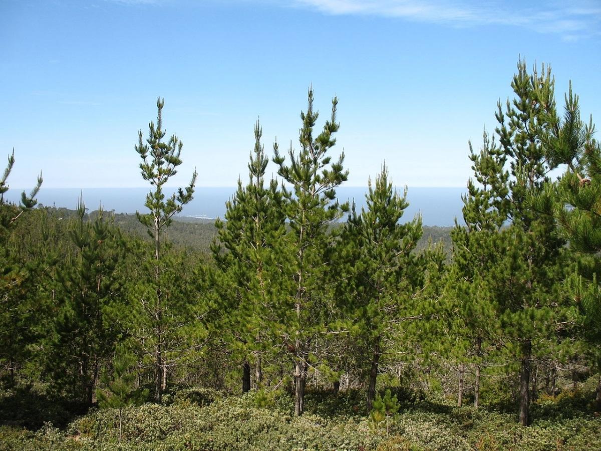 Hay muchos tipos de pinos, entre ellos el Pinus radiata