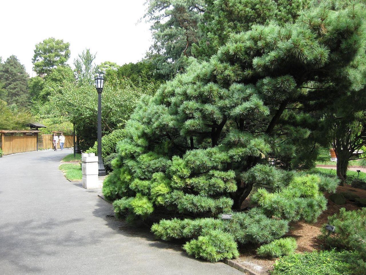 El Pinus strobus es un tipo de pino de Asia