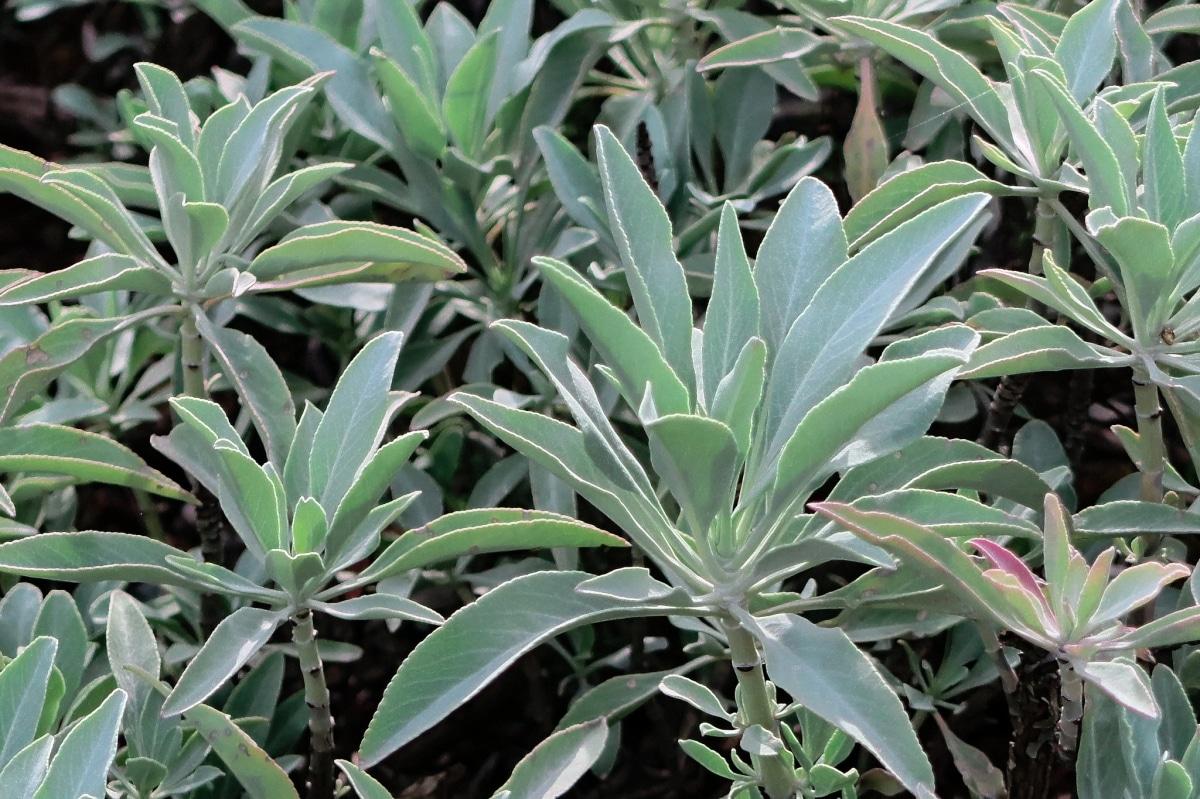 La Salvia apiana es una planta pequeña