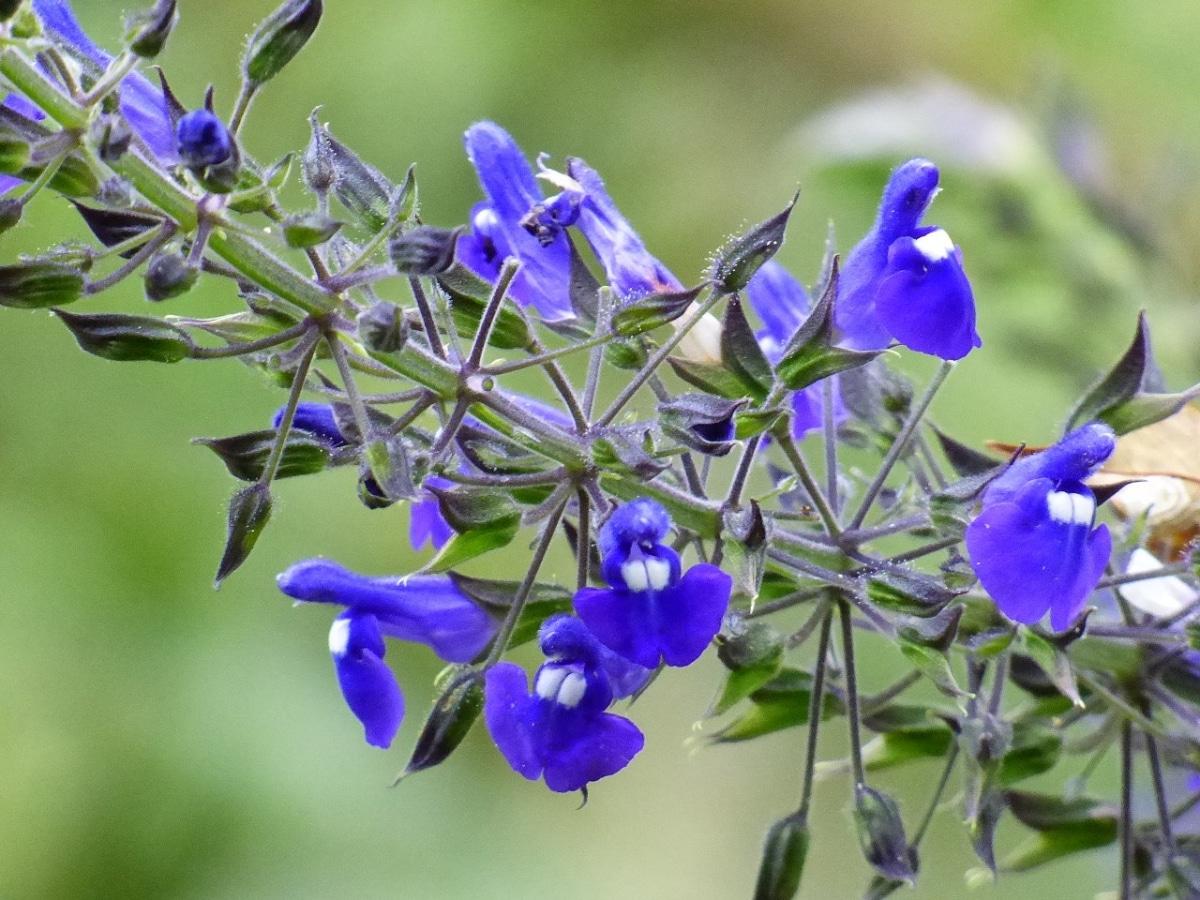 Hay muchos tipos de Salvia, unas plantas ideales para jardín