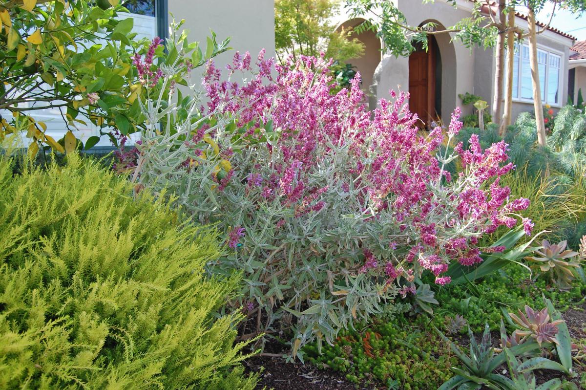 Las salvia se pueden cultivar en los jardines