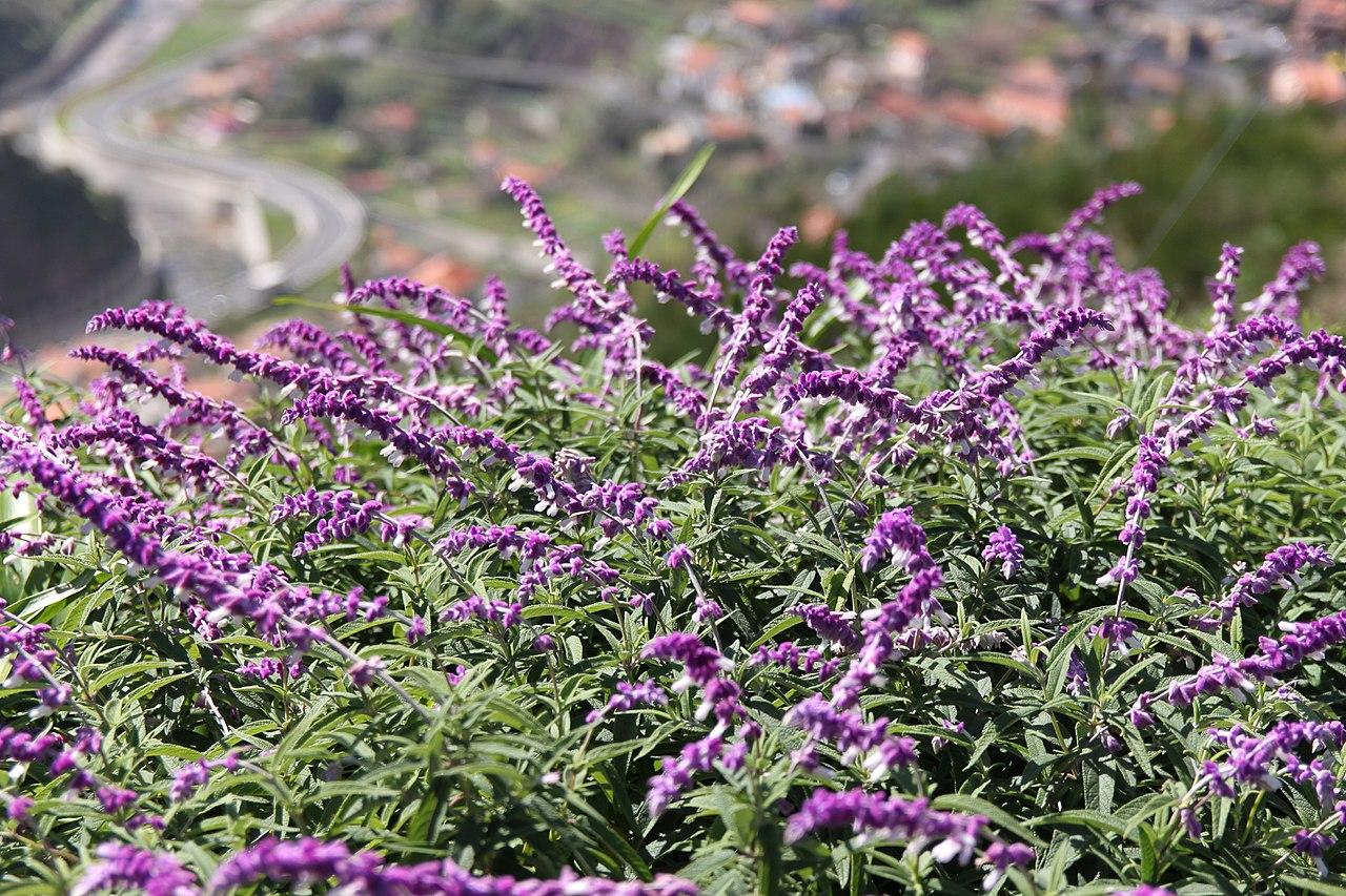 La Salvia leucantha es una planta que florece en primavera
