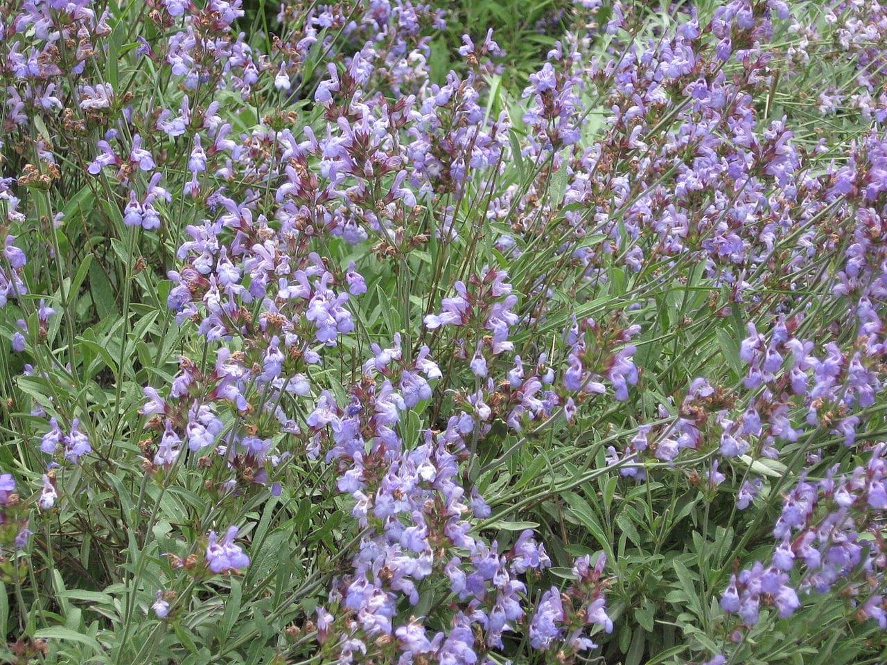 La Salvia officinalis es una planta común