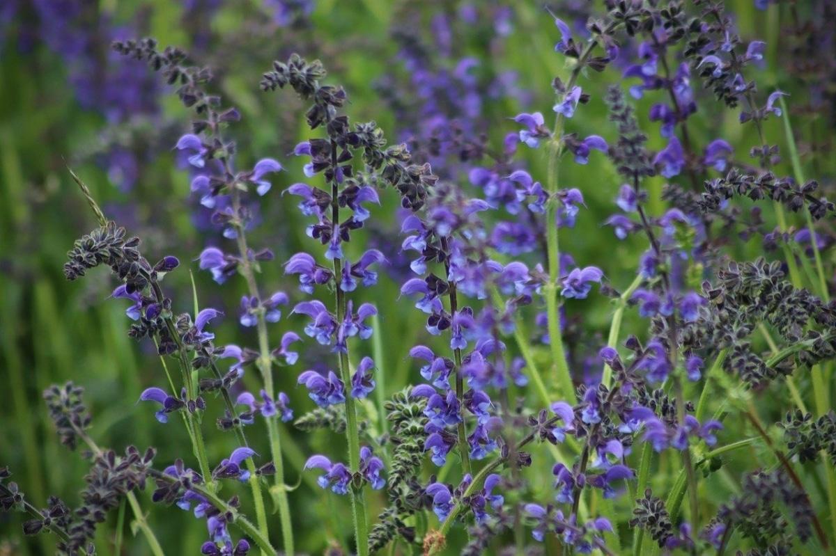 La Salvia pratensis es una planta ornamental