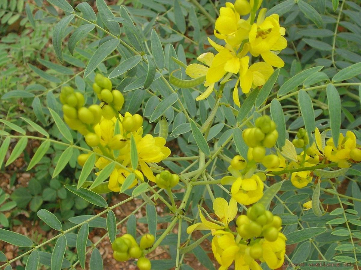 La Senna alexandrina es un arbusto de flor