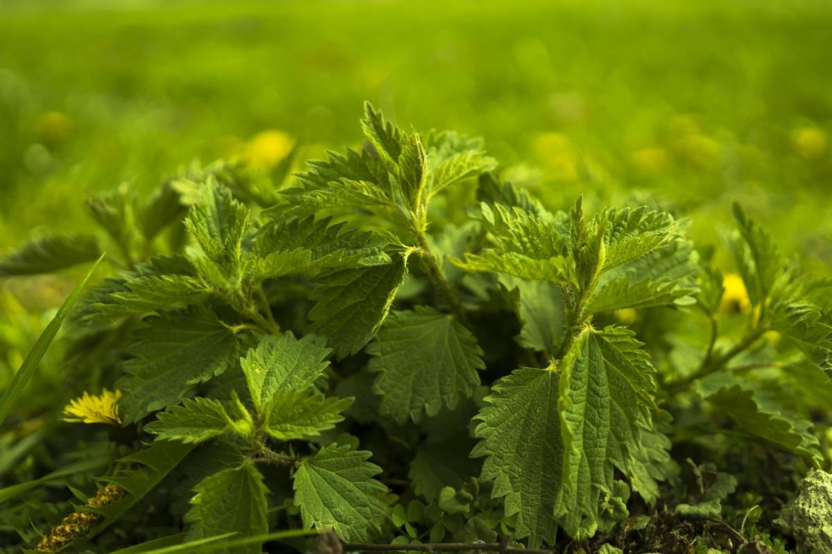 La Urtica urens es una hierba medicinal
