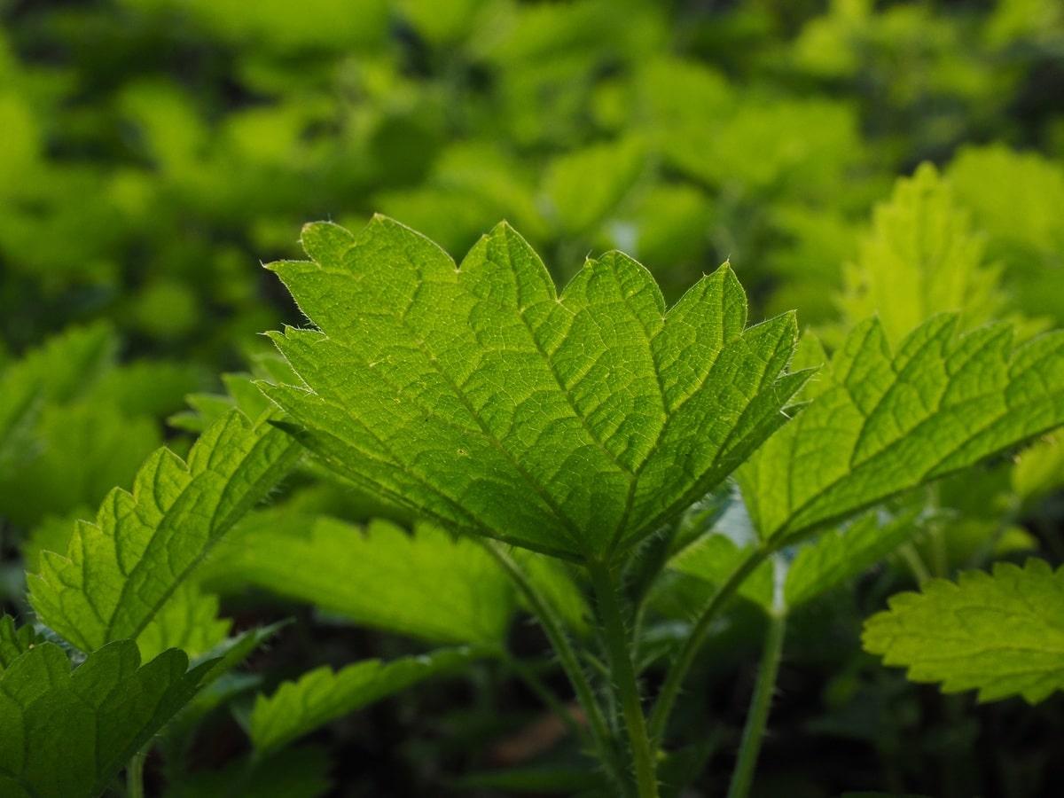 La Urtica urens es una hierba espinosa