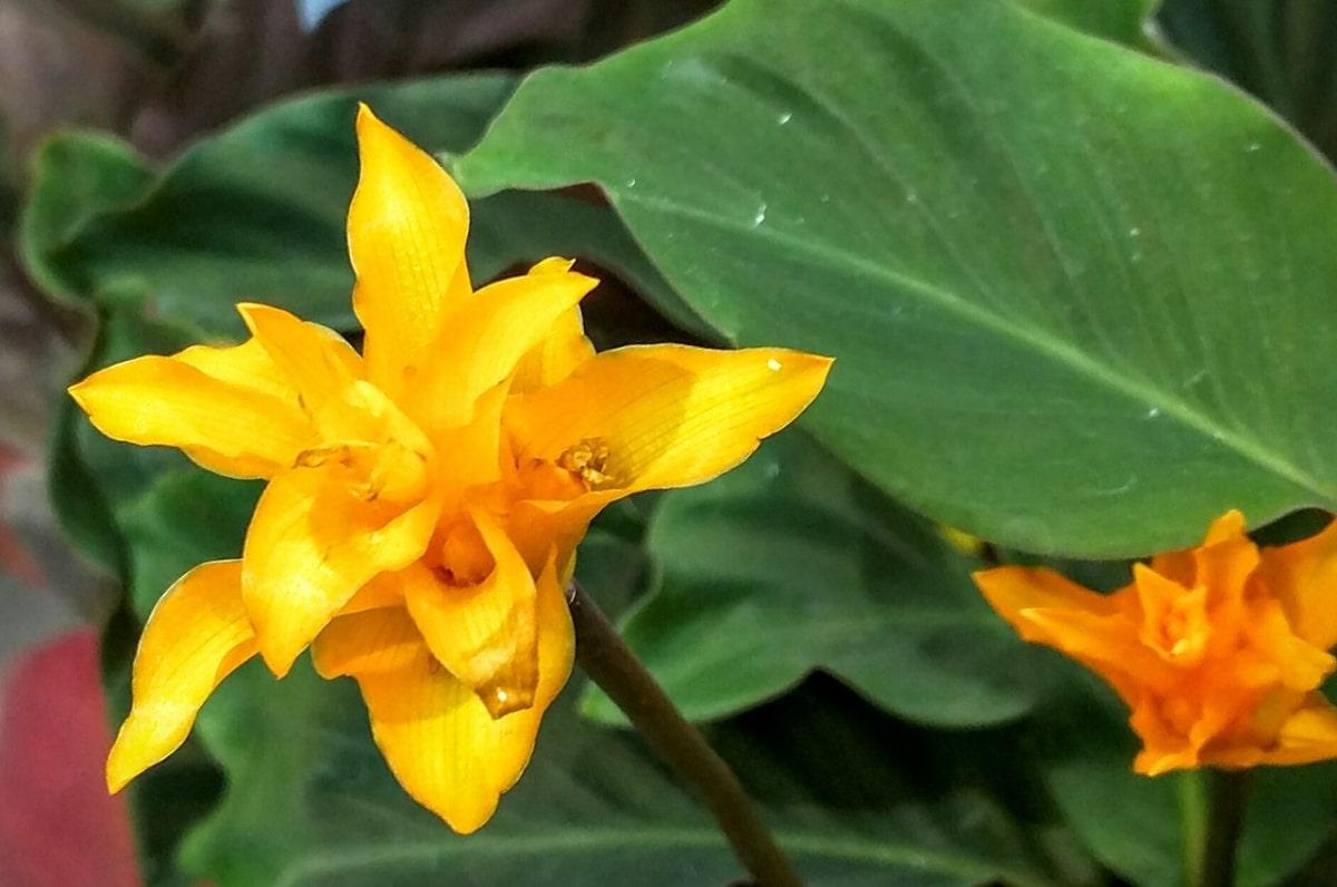 La Calathea crocata es una planta de interior de flores amarillas