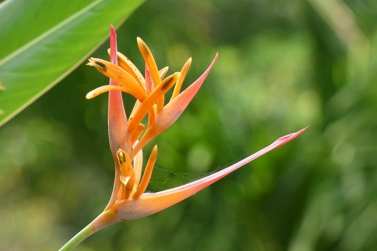 La Heliconia psittacorum es una planta herbácea