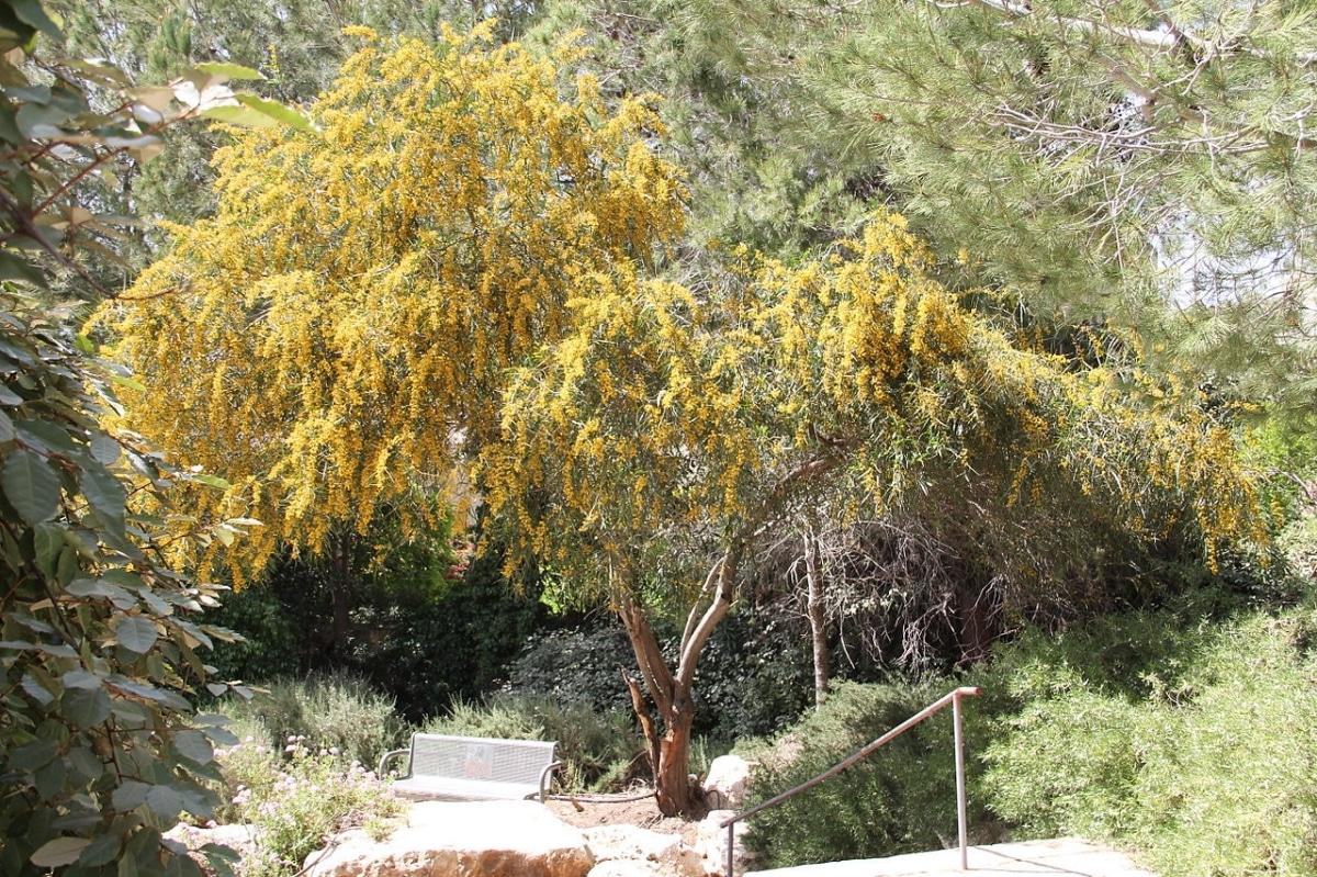 La Acacia retinodes es un árbol que quiere poca agua