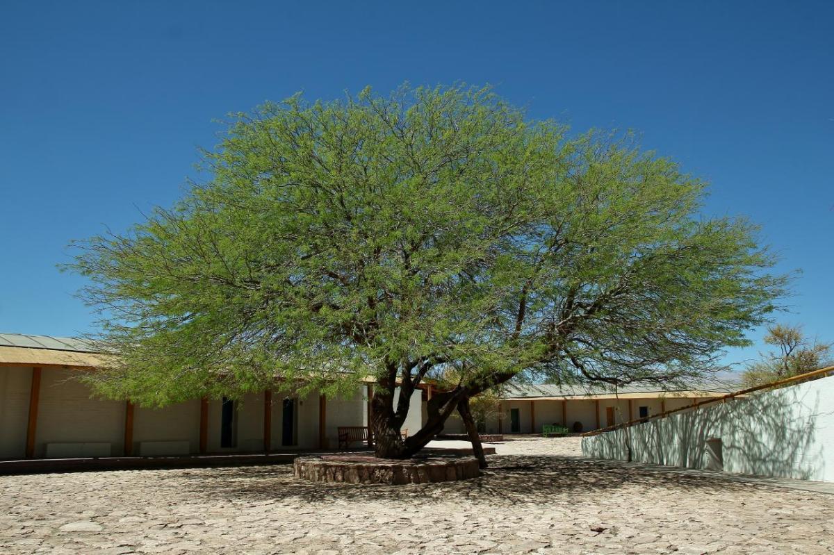 El algarrobo chileno es un árbol de crecimiento rápido