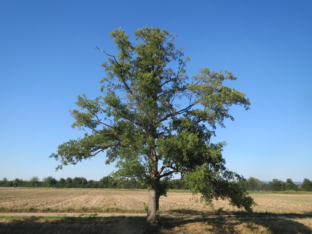 El aliso es un árbol alto para jardín