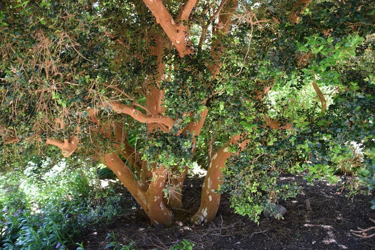 El arrayán es un árbol de corteza muy decorativa