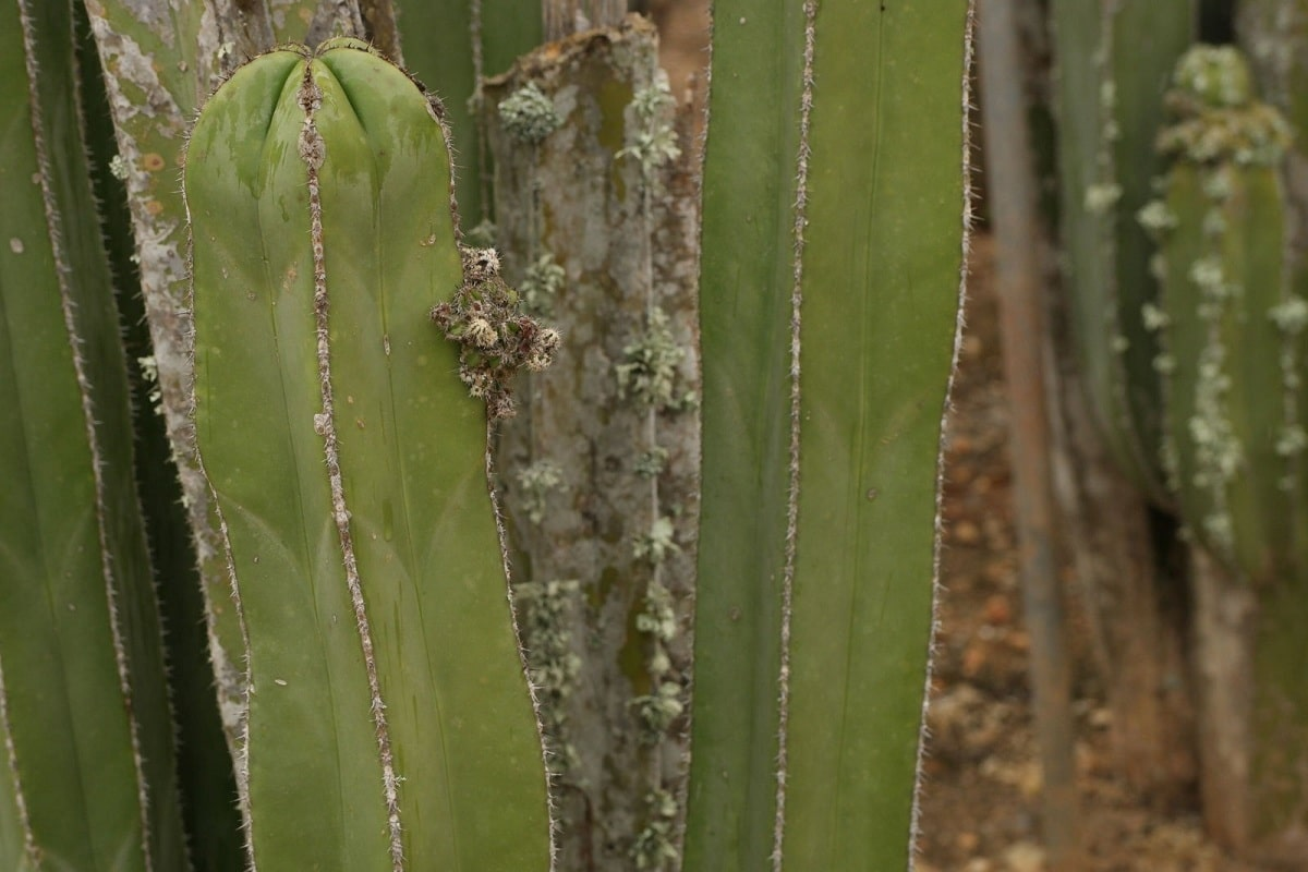 cactus organo