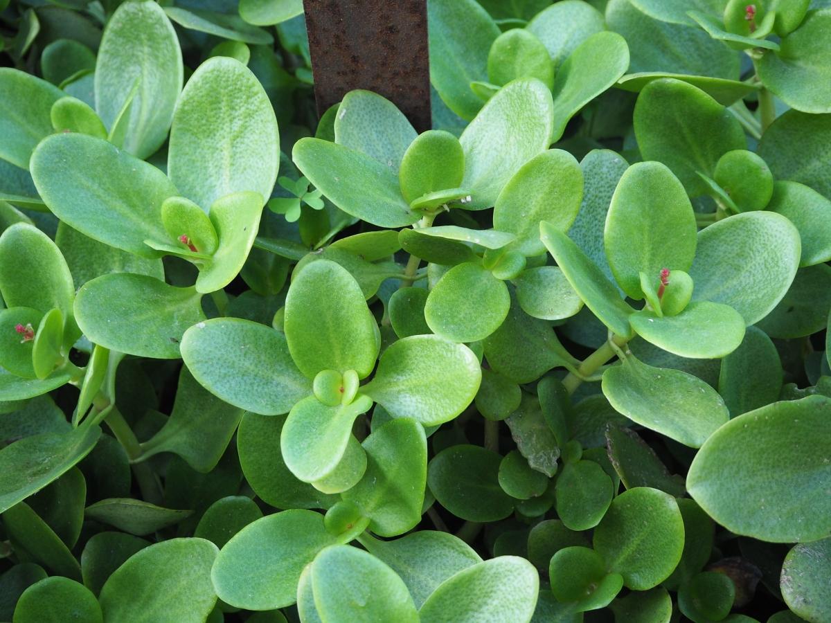 La Crassula multicava es una suculenta arbustiva