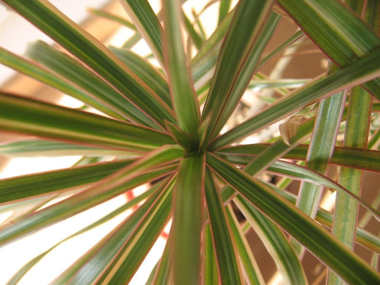 La drácena es una planta arbustiva de fácil cuidados