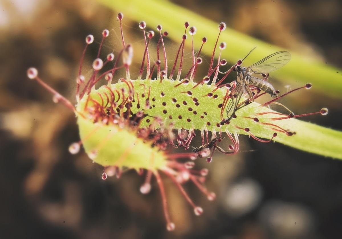 Las plantas carnívoras se secan