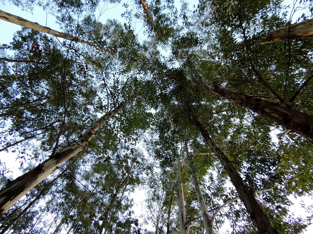 Los eucaliptos son árboles altos