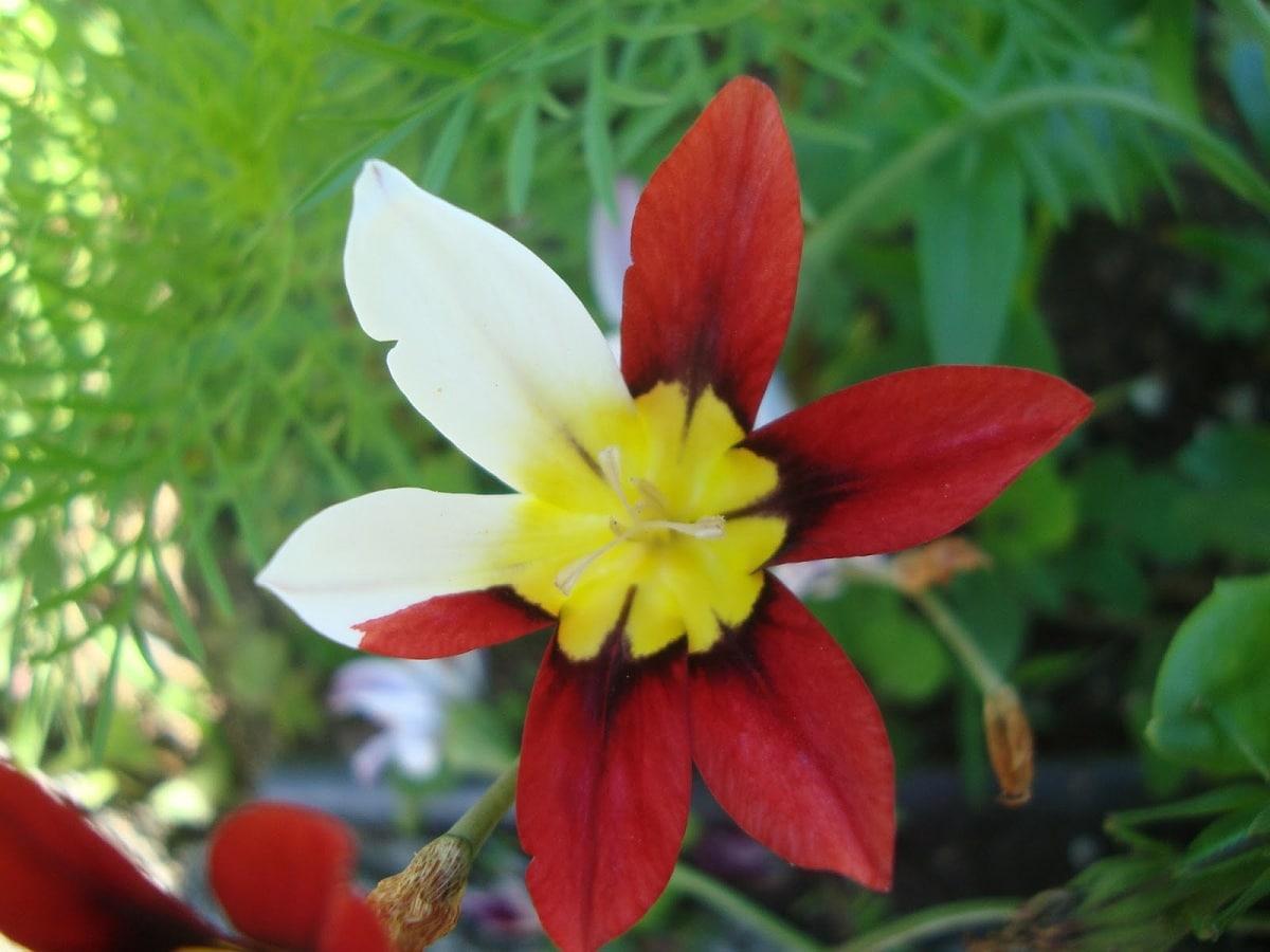 flor de la arlequina