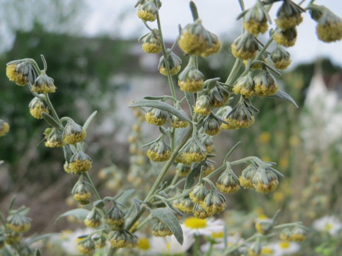 Las flores del ajenjo son amarillas